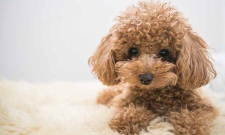 犬のイメージ画像(トイプードル)