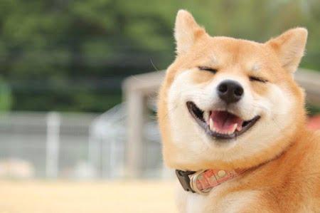 犬のイメージ画像(柴犬)